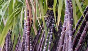 sugarcane was the origin of candy