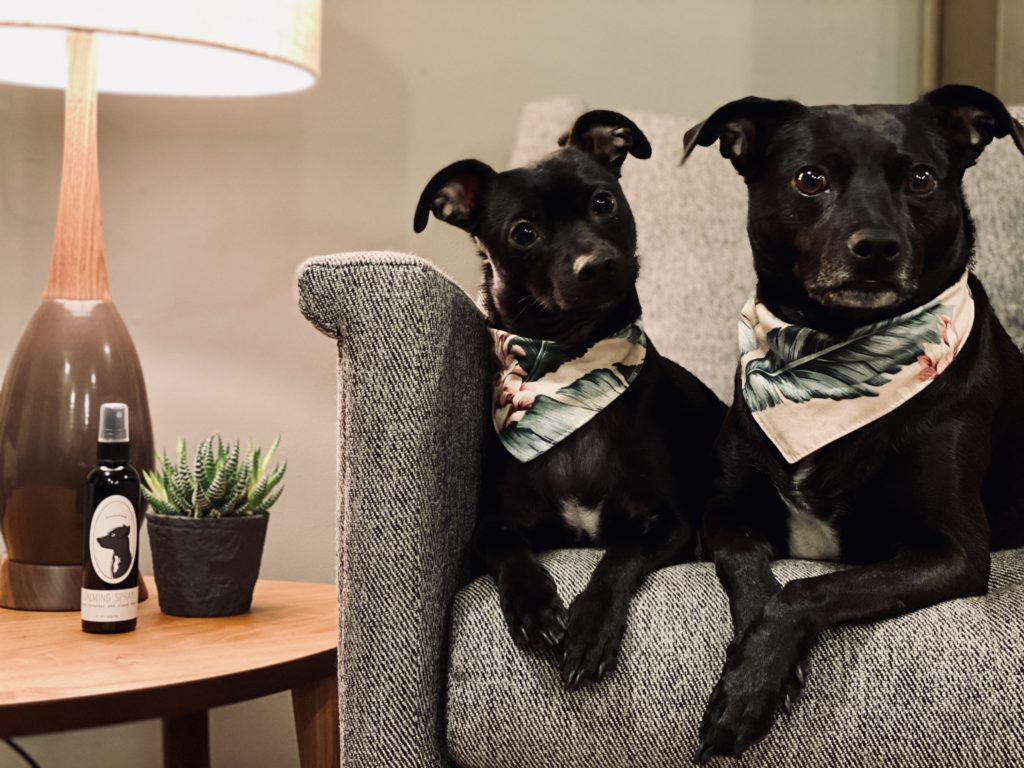 two dogs sitting on a sofa